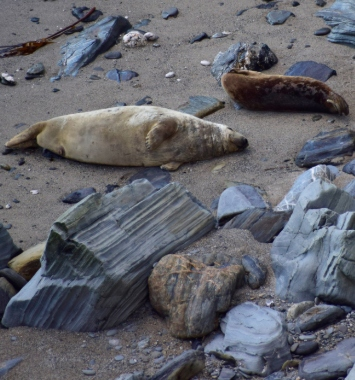 Seals at Mutton Cove